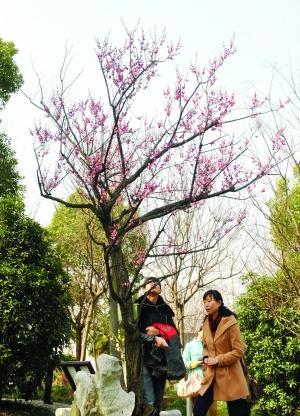 黑梅花名贵品种