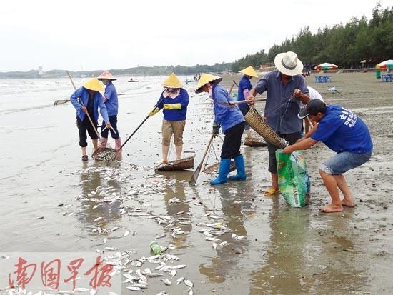 防城港江山半岛白浪滩惊现大量死鱼 绵延两三公里