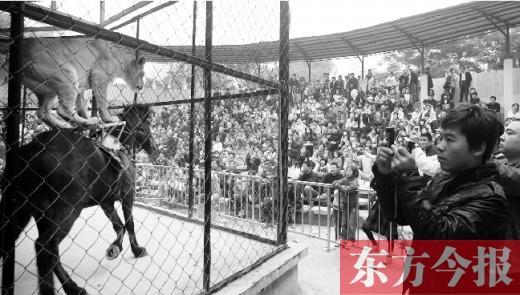 与新野猴戏相同,有着悠久历史的梅庄马戏,也被评为省级非物质文化遗产,但马戏的发展和保护远远优于猴戏。而在400公里外的安徽宿州埇桥区的马戏艺术,更是早已被评为 国家级非遗项目。   东方今报记者 肖萌/文 沈翔/图   让马戏再登大雅之堂   梅留青是马戏大师梅进宝的孙子,今年51岁的梅留青,从高中毕业后就开始与动物打交道,后个人创办了濮阳明星马戏团。1995年,梅留青又成立了野生动物驯养繁殖公司,如今他在长春和濮阳各有一处饲养基地,仅老虎数量就达50多只。   2011年11月,