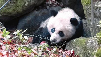 野生熊猫重伤医生缝百针急救 专家分析系爬树受伤