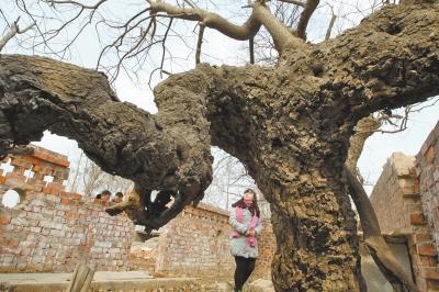 冬季的老槐树枝叶凋敝