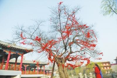 """洛阳最""""长寿""""古树已2800岁 暴皮柘桑鲜活依旧"""