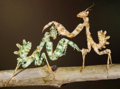 摄影师拍摄到棕色螳螂和绿色螳螂相遇照片(图)