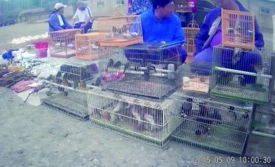 暗访北京一花鸟市场 野鸟被捆翅膀装笼中出售