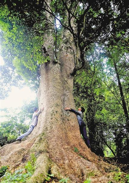 酉阳发现金丝楠木群 最大树龄600岁需6人合围(图)-中