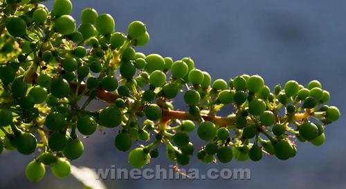 波尔多举行葡萄着花节