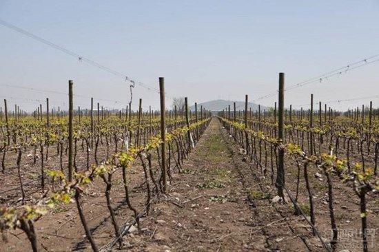干露酒庄变身全球最大葡萄园拥有者