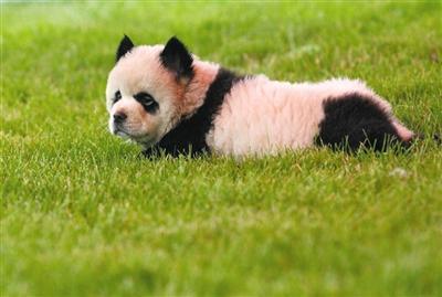 """一只被主人整容成""""熊猫""""的宠物狗趴在草地上,貌似一脸不开心。这只""""熊猫""""由松狮染色而成。"""