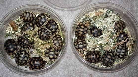 加拿大华侨女子裤内藏51只乌龟欲私运 在美认罪或被判10年