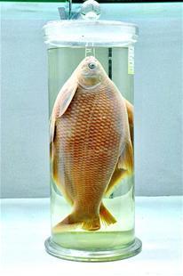 华农武昌鱼标本升级为文物 上世纪50年代采集