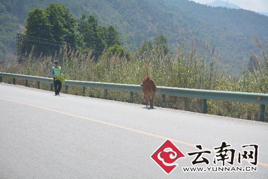 黄牛受惊跑上高速路乱闯 警方围堵控制(图)