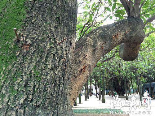 """福州:广场舞大妈为挂包 大树无辜遭""""钉刑"""""""