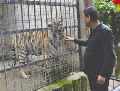 动物园老虎太瘦网友疑遭虐待 园方:自然衰老胃口差