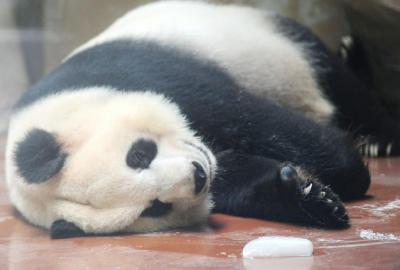 成都开启烧烤模式 熊猫抱着冰块睡觉(组图)