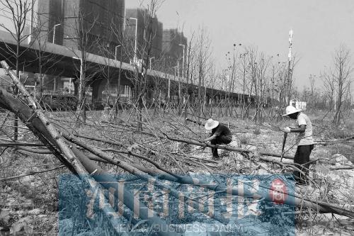 郑州一路段刚栽的行道树死近千棵 为啥 咋办
