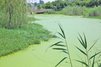 西流湖园内湖面浮萍疯长似草坪 仨月捞了4000吨