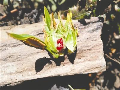 全世界约1000种杜鹃中 有一种杜鹃属会东县独有