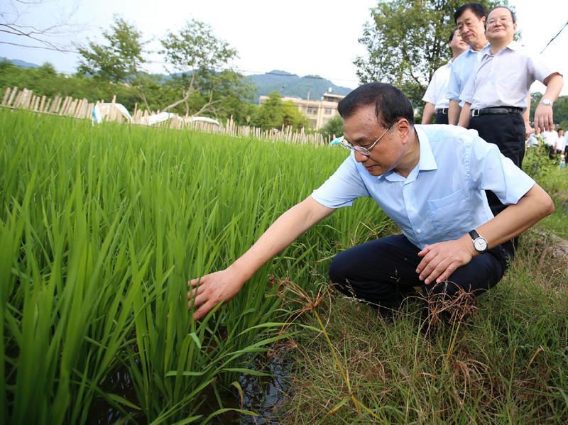 8月22日,李克强总理考察途中临时停车,走进田间察看水稻长势。