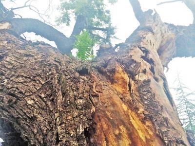 郑州老夫妇尽力照料 400年古树枯木逢春发新芽