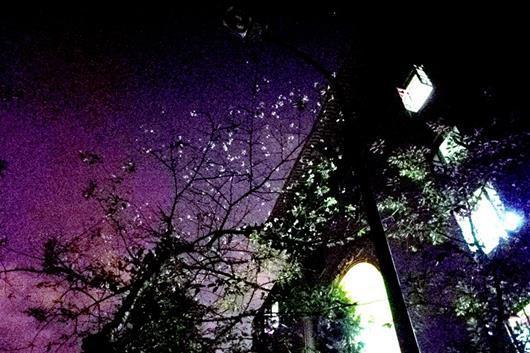 武大绽放十月樱 专家:气温回升樱树以为春天到了-中