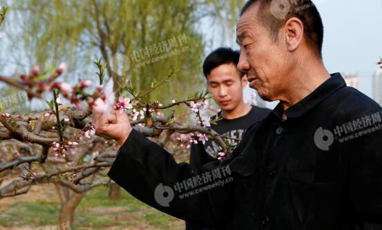 p30-1-胡伟和父亲在自家地里,他们近年来专门种植桃子。他们身后是一处商业楼盘。
