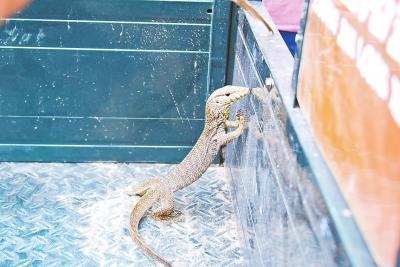 中牟一物流园发现孟加拉巨蜥 或钻轮胎里来到中国