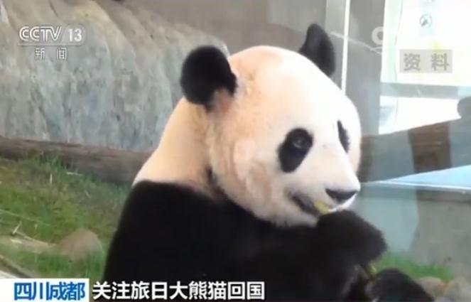 旅日大熊猫顺利返回家乡成都一个月观察期适应新环境