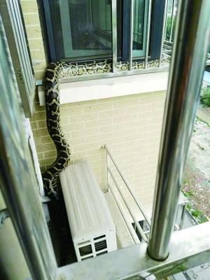 """蟒蛇""""串门""""邻居家欲偷吃居委会上门排查找主人"""