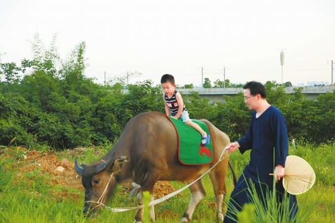 成都一男子痴迷国学让儿子骑牛上幼儿园引争议