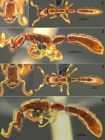 广西桂林发现珍稀古老物种雄王声猛蚁(图)