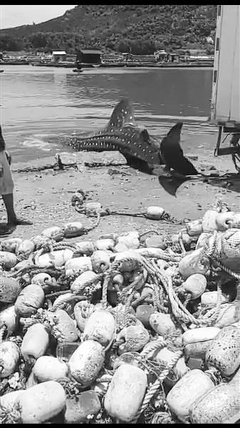 """海南3名渔民把搁浅""""大鱼""""卖1600元 疑似鲸鲨"""