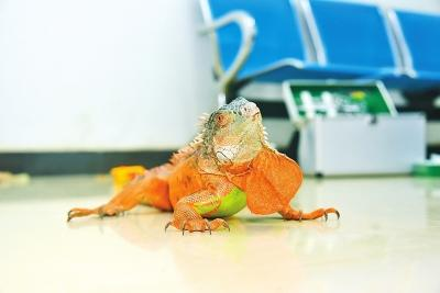1米长红鬃蜥蜴闯入郑州一民宅 吓坏女主人(图)