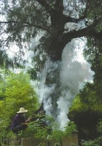 2300岁剑阁柏重启繁育:全球仅此一株 树高逾20米