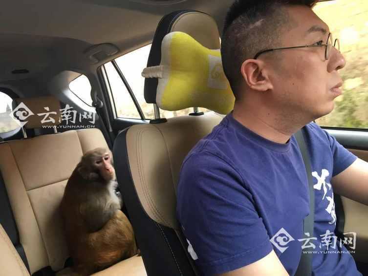 3只猴子窜进车内吃香蕉 游客想尽办法才赶走(图)