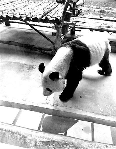秦岭野生动物园大熊猫瘦成皮包骨园方:得了牙病