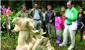 蘑菇王被收制标本 守护其4天的老人失落