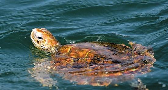 广东江门海域发现绿海龟 属国家二级保护动物