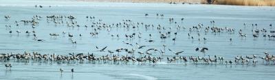首批北遷候鳥昨天來到官廳水庫