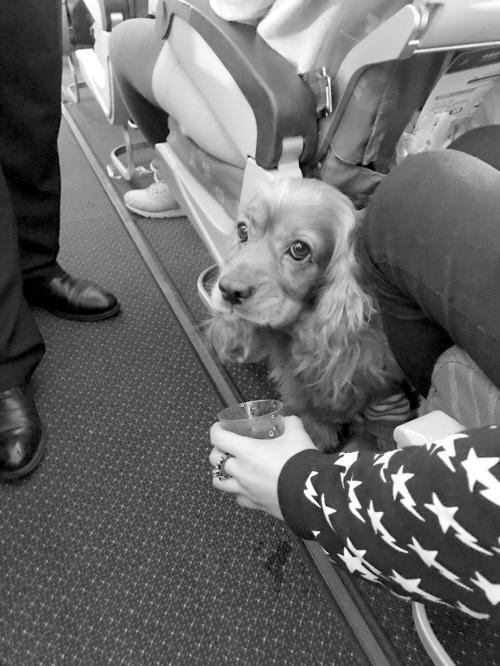 寵物咋也上飛機了?它是陪同主人的情感撫慰犬