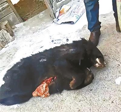 小兴安岭黑熊遭盗猎捕杀当野味出售 杀熊者已被刑拘