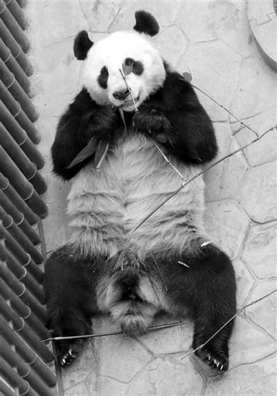 """大熊猫""""变性"""":曾被誉为""""拆迁女王"""" 实为雄性"""