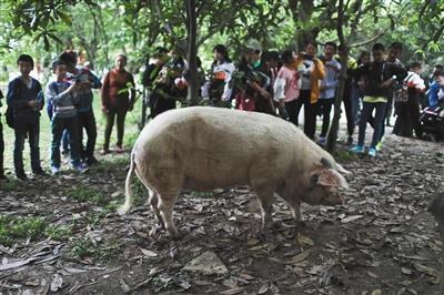 """暮年""""猪坚强"""":蹄子难支撑巨大体重 走路步态扭捏赛尔号迷度空间在哪"""