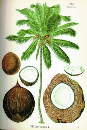 椰子:热带的代言人