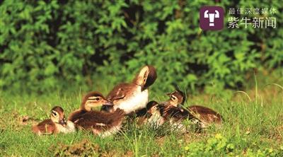 南京玄武湖鸳鸯妈妈离奇失踪 近500志愿者组队护幼鸟