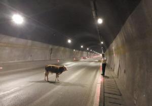 凌晨高速公路隧道内有头牛 交警路政合力驱赶
