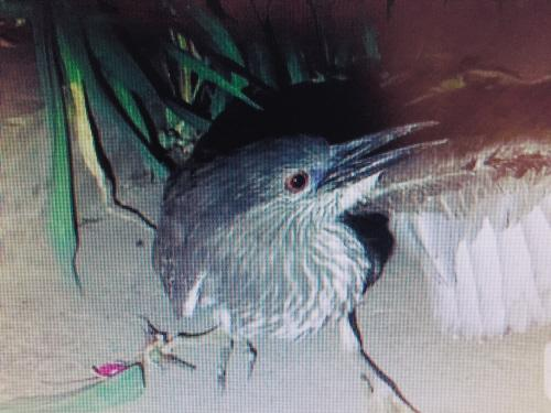 """环卫工人路旁捡到""""怪鸟""""野保专家验明身份:是夜鹭"""
