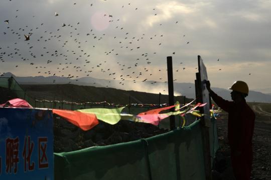 粉红椋鸟的24小时:新疆国道建设为保幼鸟让路