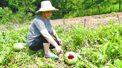 3万斤好西瓜被猪獾拱了一半 村民防不住又打不得岁月真是一把杀猪刀