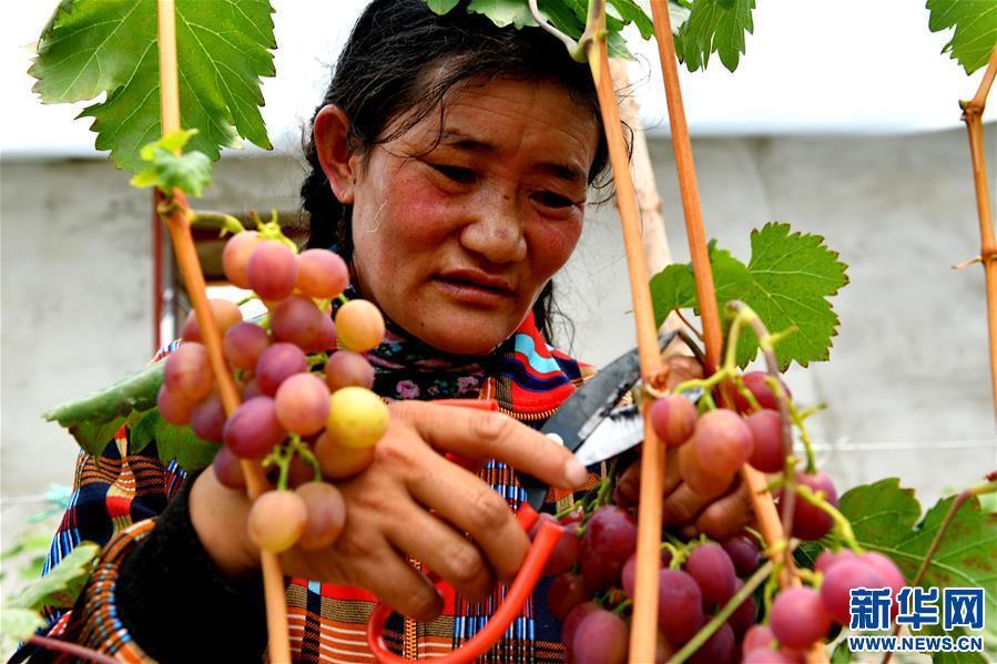 (脱贫攻坚)(6)西藏阿里:生态农业促脱贫