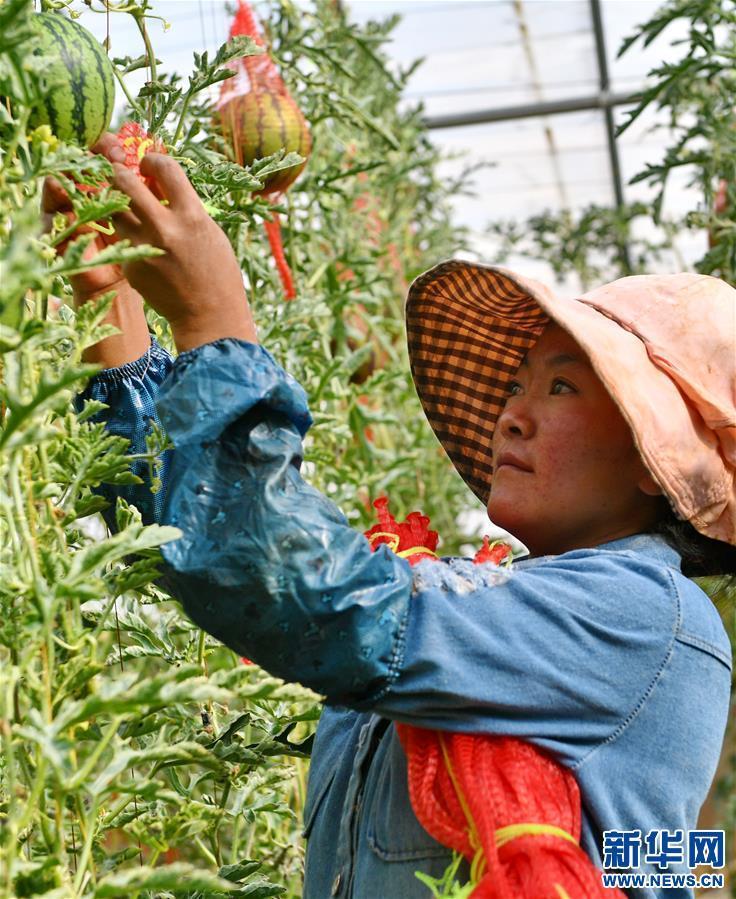 (脱贫攻坚)(8)西藏阿里:生态农业促脱贫